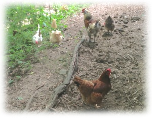 chickens at barn edge